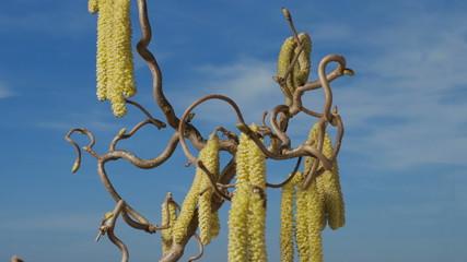 männliche Blüten einer Korkenzieher- Hasel, Zeitraffer