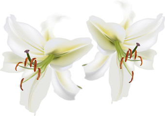 two isolated white lily blooms