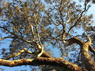 Tree eucalyptus Australia