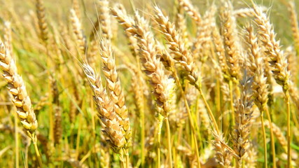 Field of wheat on the wind. Nature background
