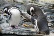 Penguins cleaning their wings