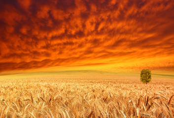 golden crop and red sky