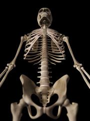 medical 3d illustration of the skeletal upper body