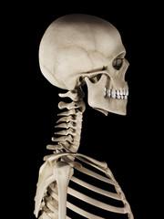 medical 3d illustration of the skull