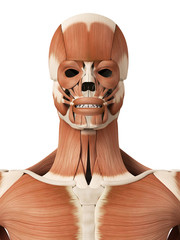 medical 3d illustration of the head muscles