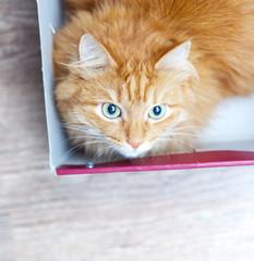 funny cat in box