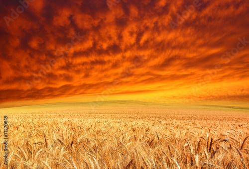 golden crop and red sky - 71270849