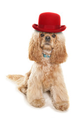 American cocker spaniel wearing a red bowler hat
