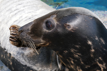 Seal (Pinniped)