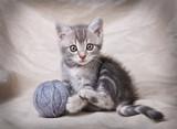 Fototapety gray kitten with ball