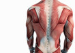 Oberkörper Anatomie Muskeln - 71272416