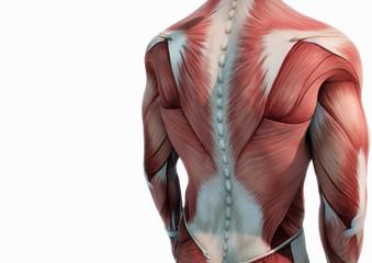 Oberkörper Anatomie Muskeln