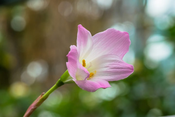 zephyranthes lily, rain lily,fairy lily, little witches