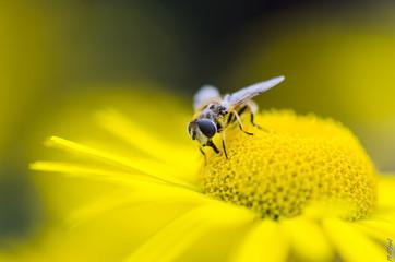 Mouche des fleures, insecte
