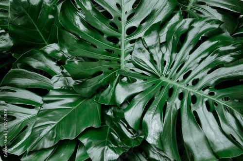 Philodendron monstera obliqua, green leaf background, dark tone