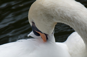 Swan cleaning its feathers