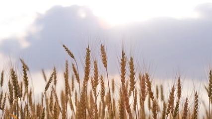Ripe ears of wheat in the field wave on a wind