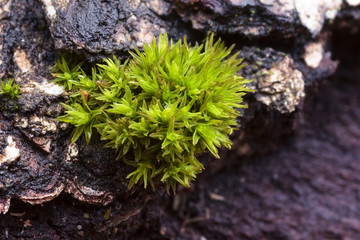 An Orthotrichum moss close-up