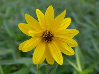 fiore di topinambur (Helianthus tuberosus)