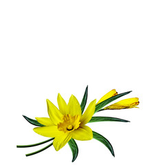 Daffodil flower on white background