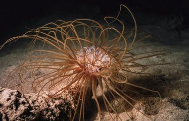 Mediterranean Sea, Sea Plant (Cerianthus membranacea)