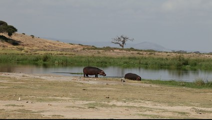 Female hippo and her cub on the lake.