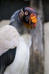 Avvoltoio reale - Sarcoramphus papa