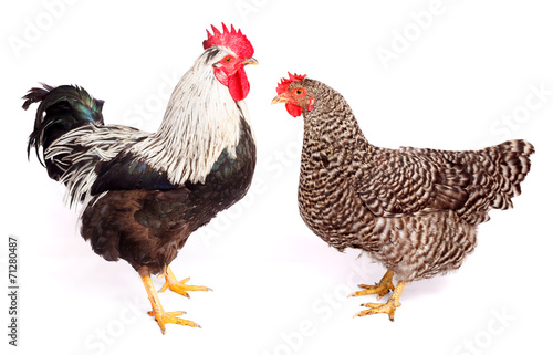 Foto op Canvas Kip Rooster and chicken on white background