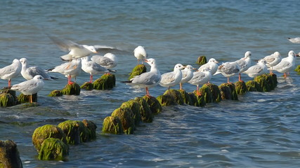 Gulls fighting for a place on the breakwater