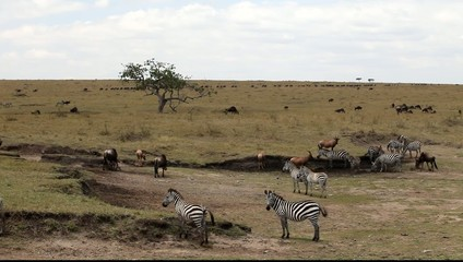 Zebras eating grass.