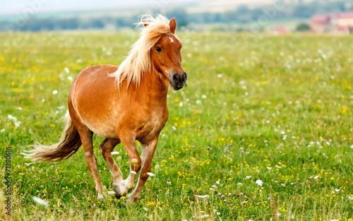 Fotobehang Paarden Small pony horse (Equus ferus caballus)