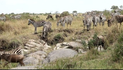 Close Up Of  A File Of Zebras Migrating