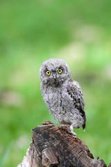 Eurasian Scops Owl (Otus scops) on branch