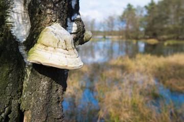 tinder fungus on tree