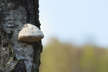 tinder fungus on tree