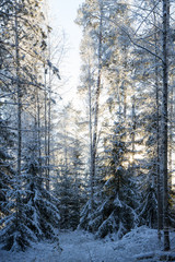 Frosty and snow covered trees in a forest at dusk in the winter
