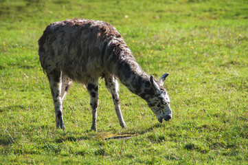 Lama bicolor