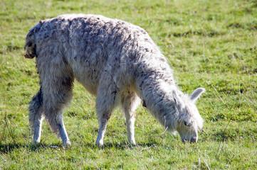 Lama blanc