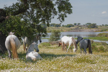 Horses in the pastures and oak trees. Extremadura, Spain