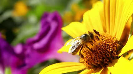 Bee collecting honey and pollinates flower