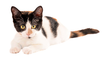 Adorable calico kitten laying on white background