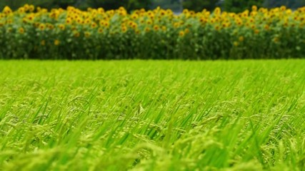 ヒマワリ畑と稲穂