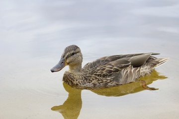 Female duck in the water