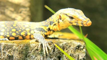 Mangrove Monitor Lizard - Reptile Varanus Indicus
