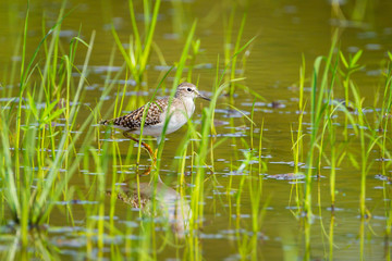 Wood Sandpiper(Tringa glareola ) walking in rice field