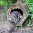 Adult raccoon at his nest