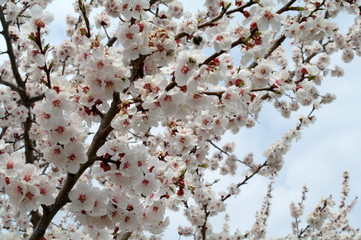 Blossoming of apricot tree flowers. Closeup.