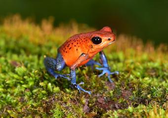 strawberry poison dart frog, cahuita, costa rica blue jeans