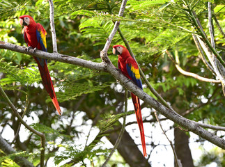 wild pair scarlet macaws in tree , corcovado, costa rica