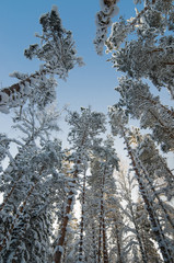 Winter snow covered treetops against the blue sky. Viitna, Eston